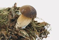 гриб v1 Стоковое Фото