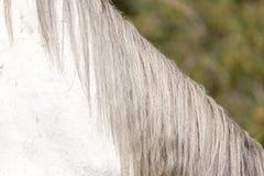Грива белой лошади стоковые фото