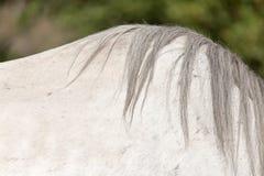 Грива белой лошади стоковая фотография rf