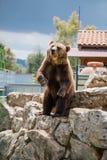 Гризли в живой природе зоопарка в сафари Италии apulia Fasano стоковые фотографии rf