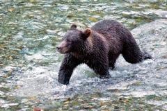 Гризли или бурый медведь - заводь рыб, Аляска стоковые изображения