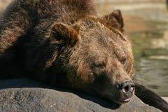 гризли медведя стоковые фото