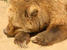 гризли медведя Стоковые Изображения RF