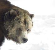 гризли медведя стоковое изображение rf