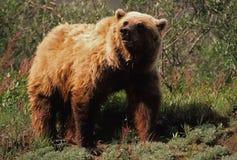 гризли медведя Стоковые Фотографии RF