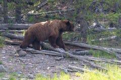 Гризли охотясь в национальном парке Йеллоустона стоковые фотографии rf