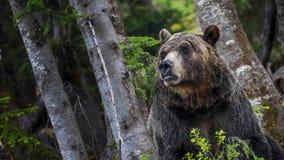 Гризли в лесе Стоковое Фото