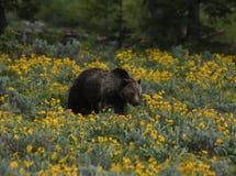 Гризли в wildflowers Стоковая Фотография RF