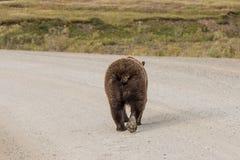 Гризли идя на дорогу Стоковая Фотография