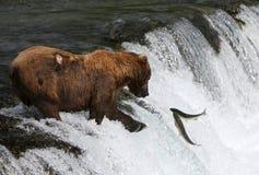 Гризли рыбной ловли Стоковая Фотография