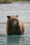 Гризли удя в аляскском озере Стоковое Изображение RF