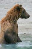 Гризли удя в аляскском озере Стоковые Изображения