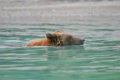 Гризли удя в аляскском озере Стоковая Фотография RF
