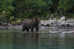 Гризли удя в аляскском озере Стоковые Фотографии RF