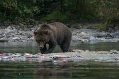 Гризли удя в аляскском озере Стоковые Фото