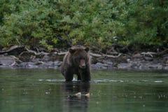 Гризли удя в аляскском озере Стоковое Изображение