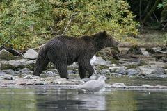 Гризли удя в аляскском озере Стоковые Изображения RF