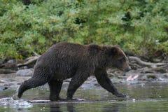 Гризли удя в аляскском озере Стоковое фото RF