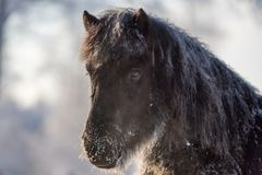 Грубая исландская лошадь в замерзая зиме Стоковые Фото
