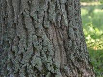 Грубая кора дерева с мхом Стоковые Фотографии RF