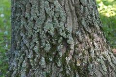 Грубая кора дерева с мхом Стоковое Изображение