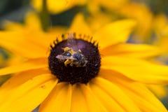 Грубая пчела на цветке 16 Стоковое Фото