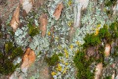 Грубая расшива старого дерева с мхом Стоковое Изображение RF
