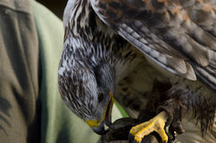 грубая buzzard legged Стоковая Фотография