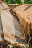 Грубо отрежьте пень дерева Стоковое Фото