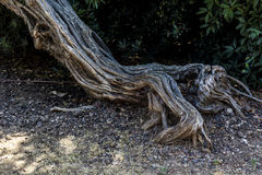 Грубый стержень дерева на скалистой земле Стоковые Изображения RF