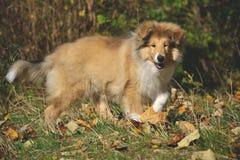 Грубый щенок Коллиы Стоковая Фотография