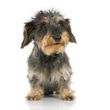 грубый dachshund с волосами стоковые фото