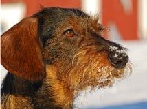 грубый dachshund с волосами стоковые фотографии rf