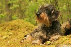 грубый dachshund с волосами Стоковые Изображения RF