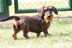 грубый dachshund с волосами Стоковая Фотография