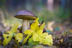 Груб-запруженный гриб bolete Стоковые Фото