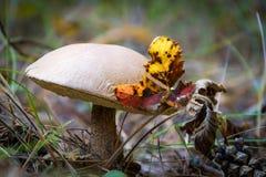 Груб-запруженный гриб bolete Стоковые Фотографии RF