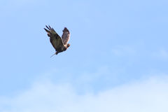 Груб-шагающий канюк (белая куропатка канюка) летный на голубом небе Стоковая Фотография