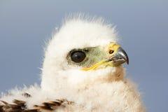 Груб-шагающий цыпленок канюка Архипелаг Novaya Zemlya archness стоковые изображения