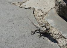 Грузинская ящерица на камне стоковая фотография