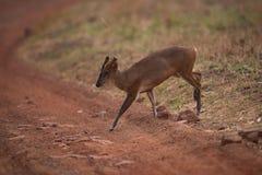 Грунтовая дорога скрещивания лаяя оленей в тени Стоковая Фотография RF