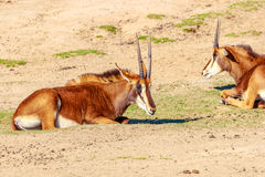 Группа антилопы соболя Стоковое фото RF