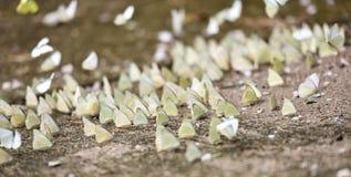 Группа бабочки на том основании Стоковое Фото