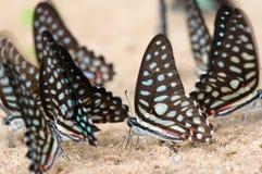 группа бабочки Стоковое Изображение RF