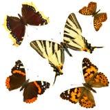 группа бабочки Стоковые Фотографии RF