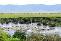 Группа бегемота в пруде Стоковое Фото