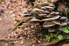Группа белых грибов растя от пня дерева стоковое фото rf