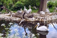 Группа белого пеликана на озере с отражением Стоковые Фотографии RF