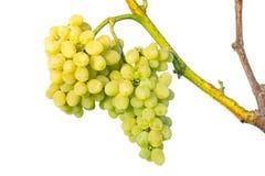 Группа белых виноградин на лозе Стоковые Изображения RF
