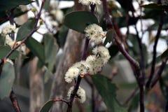 Группа белых цветков hispida Angophora gumtree Стоковое Изображение RF